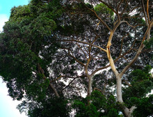 The Crown Of A Tree, Branches And Foliage Of A Popular Ficus Species.