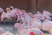 Flock Of Flamingos Wading On The Shore Of A Pond In An Animal Sanctuary