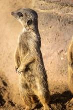 Closeup Shot Of A Curious Meerkat Standing Tall On Desert Sand