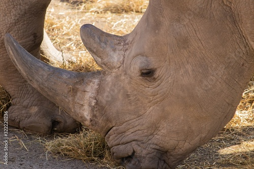 Closeup shot of a rhinoceros eating hay with a beautiful display of its horn and Wallpaper Mural