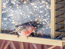 House Finch Sitting On A Bird Feeder During The Winter In Wisconsin
