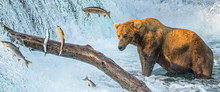 Panoramic View Of An Adult Coastal Brown Bear Standing In Front Of Waterfalls With Several Salmon Jumping Through The Air In Their Attempt To Get Upriver To Natal Waters.