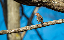 One Beautiful Red Headed Finch...