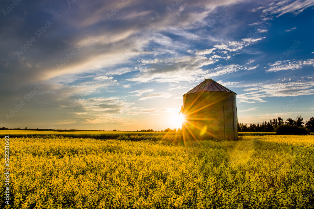 Fototapeta Sunset over a canola field and silo during summer on the prairie
