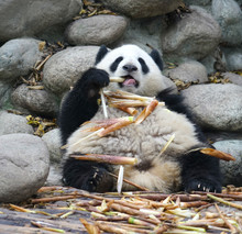 Close Up On Giant Panda Eating Bamboo