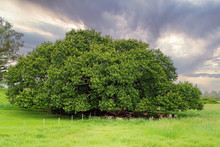 Cattle Resting Under An Old Fig Tree