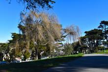 Willow Tree In San Francisco's Alamo Square Park