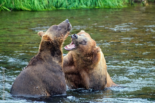 Two adult Male coastal brown bears in a remote river with one asserting dominance over the other Wallpaper Mural