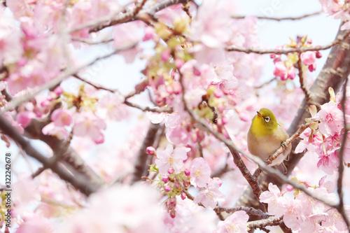 Fotografie, Obraz ピンク色の桜を花見するメジロの写真素材