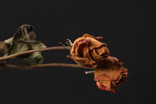 Dried Red Rose On Black Backgr...