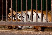 The Tiger, Behind Bars, In A M...