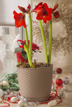 Red Hippeastrum (amaryllis) An...