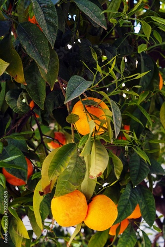 Vertical shot of oranges hanging on a tree branch
