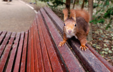 Funny Red Squirrel On A Bench ...