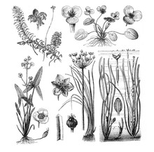 Aquatic Plants / Antique Illustration From Brockhaus Konversations-Lexikon 1908