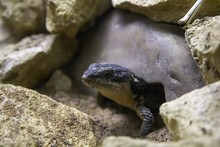 Sungazer Lizard Between Stones During Daytime