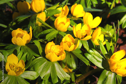 Photo Winter aconite (Eranthis hyemalis) one of the first garden flowers in spring