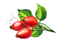 Branch Of Wild Rose Or Rosehips With Green Leaves. Hand Drawn Watercolor Illustration, Isolated On White Background
