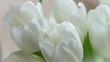 White tulips bucket macro photo.