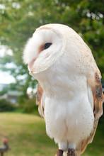 Common Barn Owl White Owl Stan...
