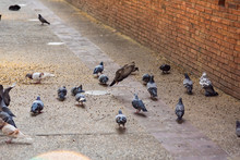 "Pigeons At ""Tha Phae"" Gate Is The Most Famous Landmarks In Chiang Mai, Thailand"