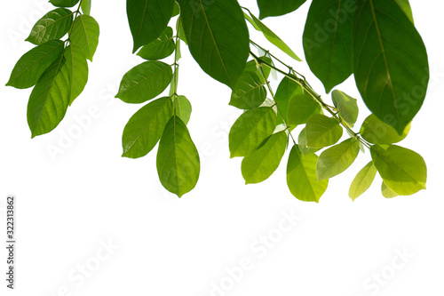 Fototapety, obrazy: Green Tree branch isolated on white background
