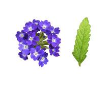 Purple Verbena Flowers And Leaf