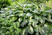 Luxury Hosta With Green And Wh...