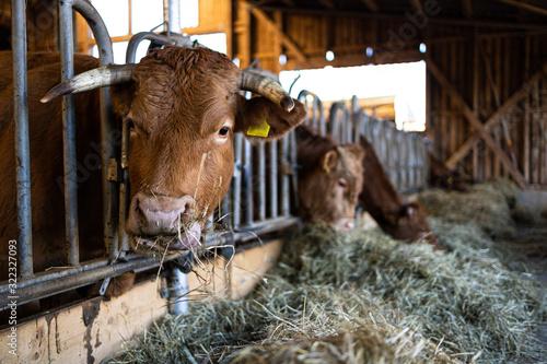 Kühe im Stall fressen Heu Canvas