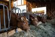 Kühe im Stall fressen Heu