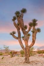 A Joshua Tree At Dusk