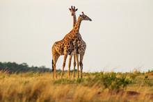 Giraffe South Africa