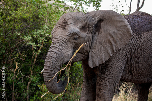 Elephant in the bushes in South Africa Wallpaper Mural