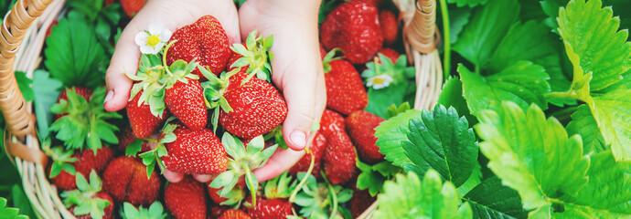 The child collects strawberries in the garden. Selective focus.