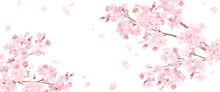 春の花:桜と散る花び...