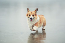 Portrait Of A Cute Red Corgi Dog Puppy Running On The Slippery Ice On The Lake In Winter Park