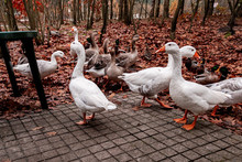 Wild Geese Beg For Food From A...