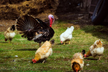 Turkey And Chickens Graze On The Farm. Growing Environmentally Friendly And Healthy Meat.