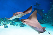 Two Stingrays Are Swimming On The Blue Sea Near The Underwater Rocks And White Sand.