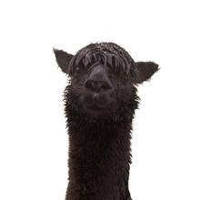 Black Funny Alpaca Isolated On...