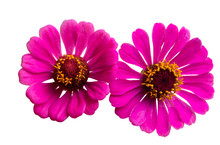 Pink Zinnia Flower Isolated