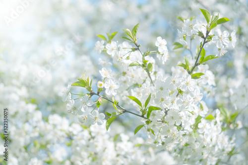 Obraz Kwiat wiśni w słońcu, kwitnąca wiśnia - fototapety do salonu