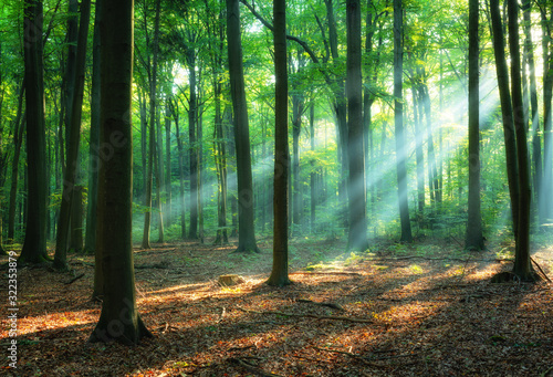 Fototapeta Beautiful sunrise in green forest obraz
