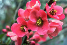 Pink Quince Flowers On A Branc...