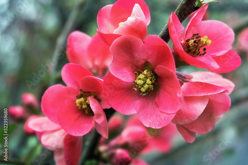 Photographie pink quince flowers on a branch in the garden