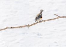 A Tufted Titmouse Bird Looing ...