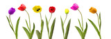 Collection of tulip flower on white background.
