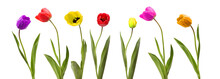 Collection Of Tulip Flower On ...