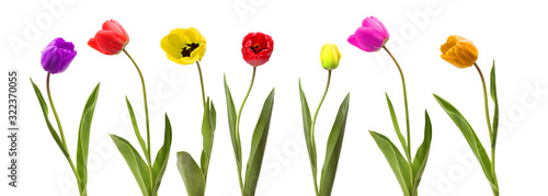 Collection of tulip flower on white background. #322370055