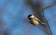 Adorable Little Black-Capped Chickadee (Poecile Atricapillus) Songbird Perched On Small Branch Against Muted Blue Background Late Winter Early Spring Room For Text Copy